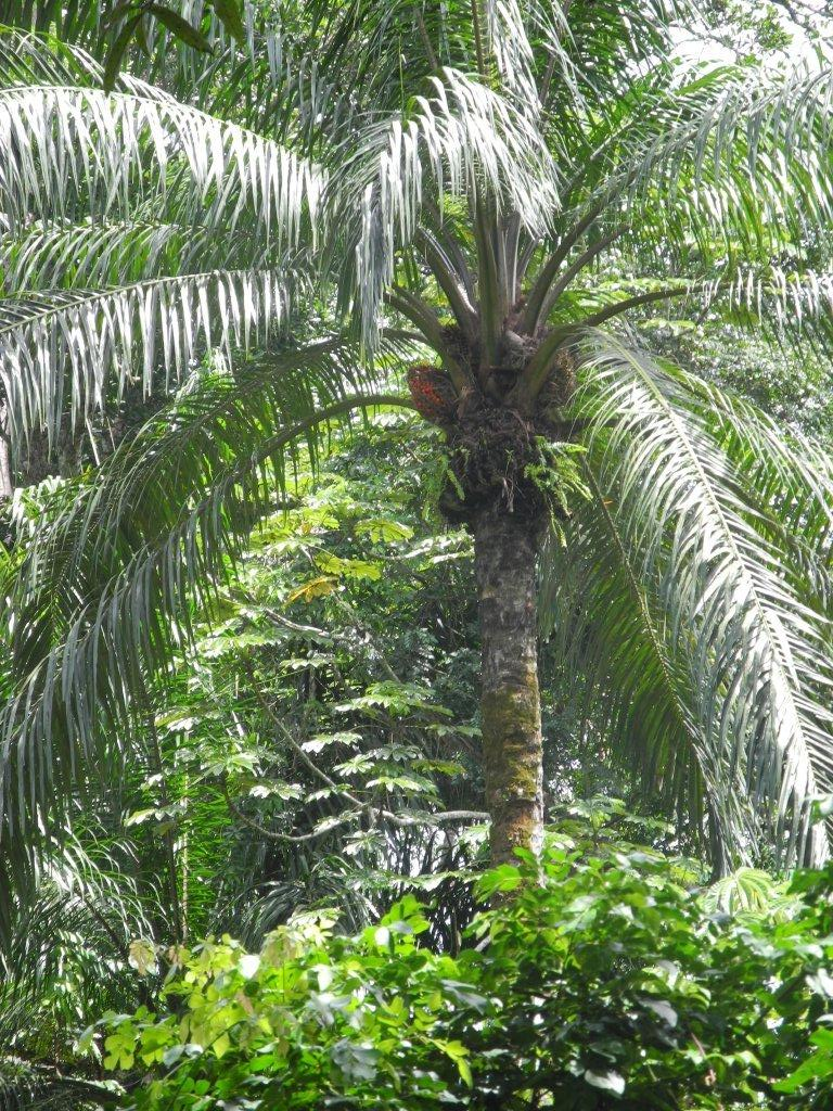Palm nut for oil